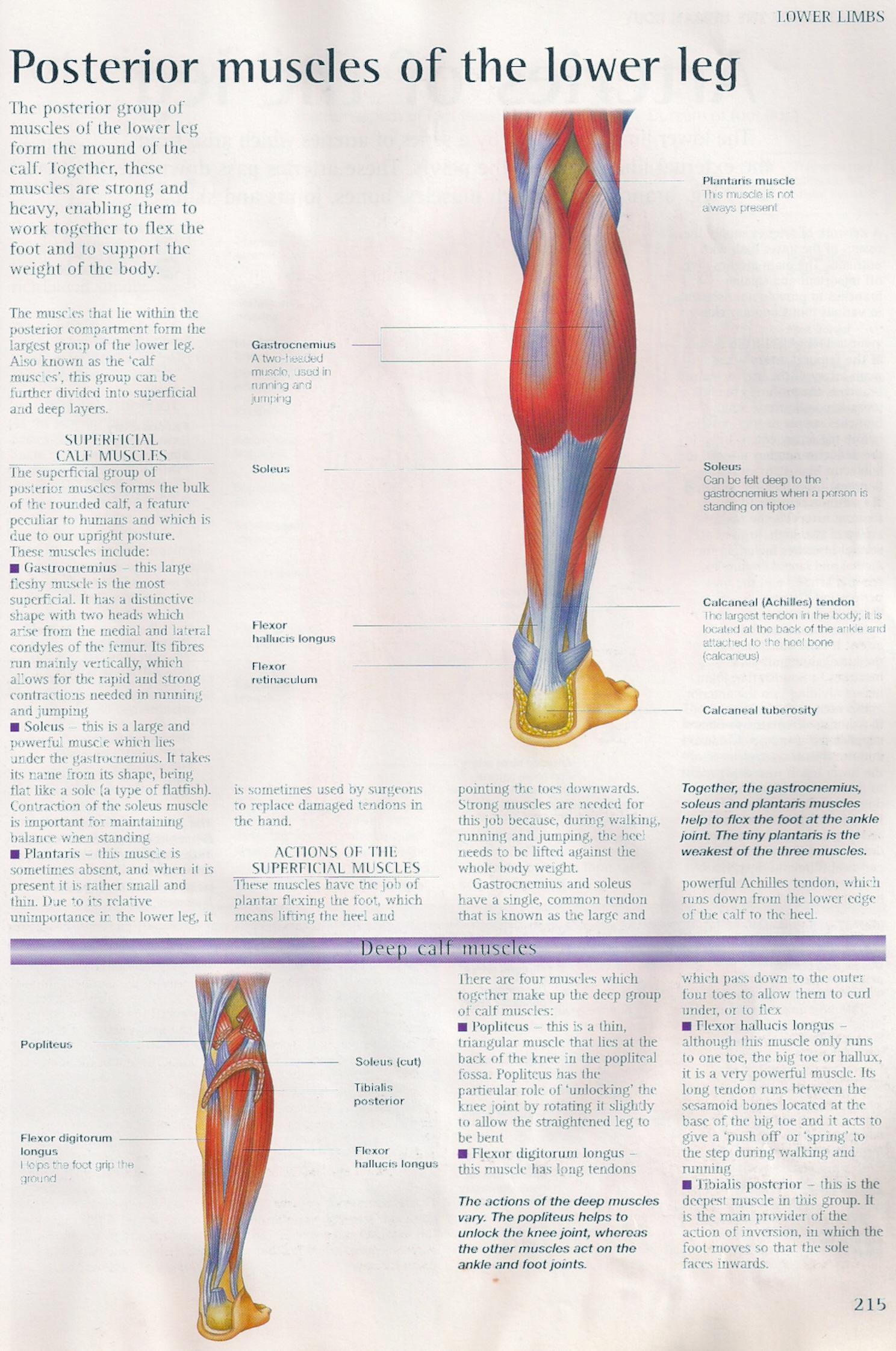 Achilles\' heel and Achilles tendon from Wikipedia | Dr Ko Ko Gyi\'s Blog