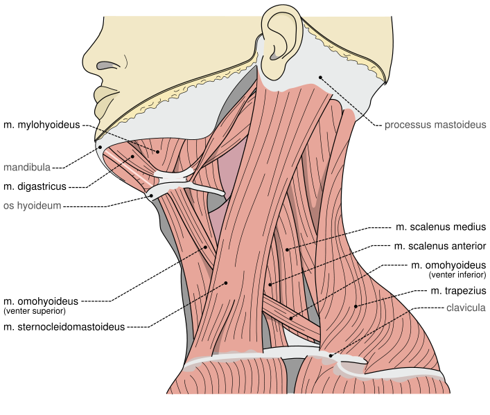 Are Muscle Spasms One Sided In The Neck 21
